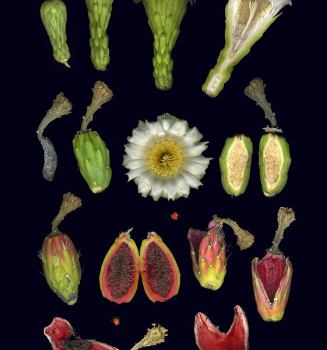 Saguaro Flower to Fruit