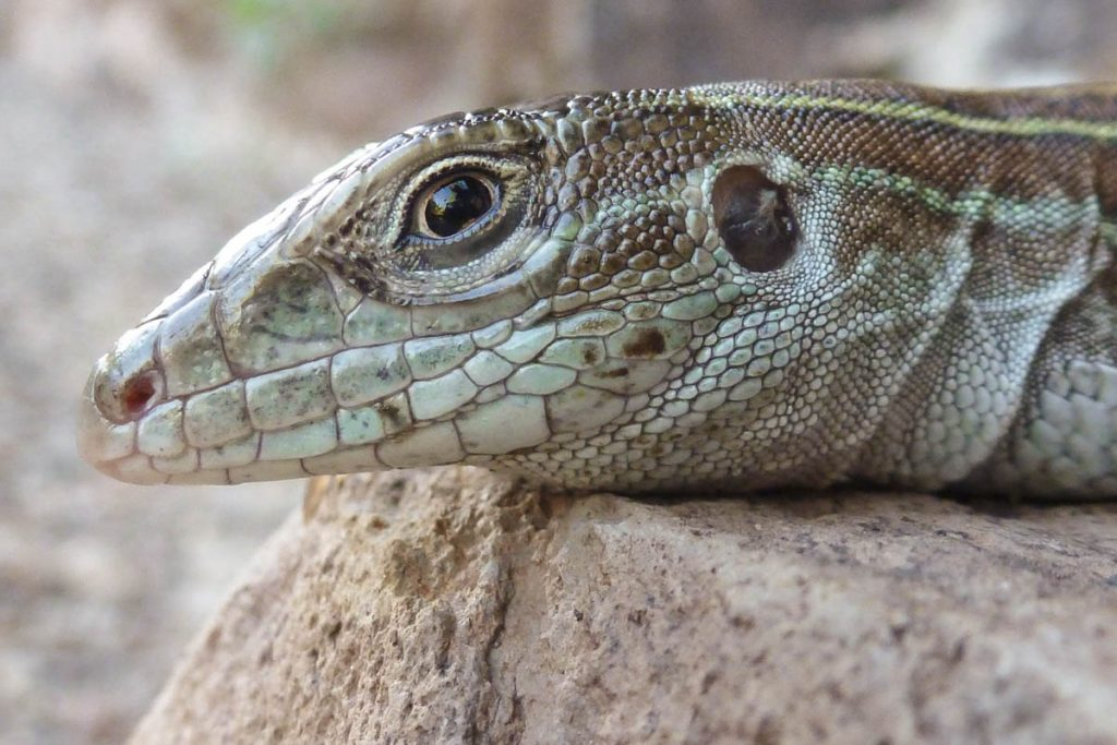 whiptail lizard face