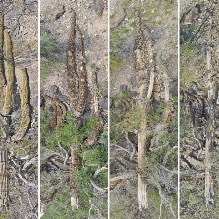 Fallen Saguaro Time Sequence