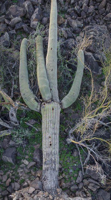 Fallen Saguaro 2