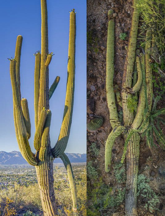 Saguaro Genome Project #5: Standing and Fallen