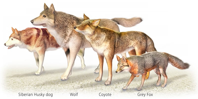 illustration of fox, coyote, wolf, and dog for comparison