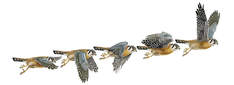 illustration of stages of kestrel in flight