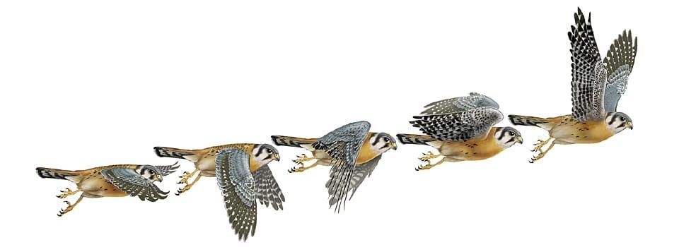 kestrel flight series
