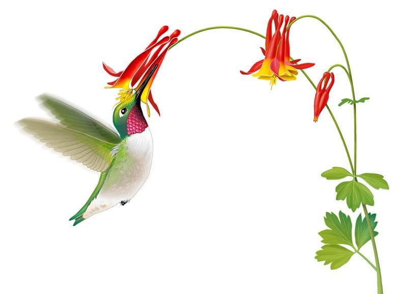 Hummingbird pollinating a columbine flower