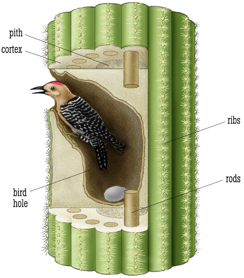 Cross-section of a woodpecker home in a saguaro cactus