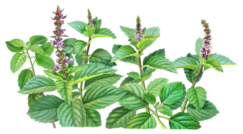 Holy basil painting for Alvita Teas by Paul Mirocha