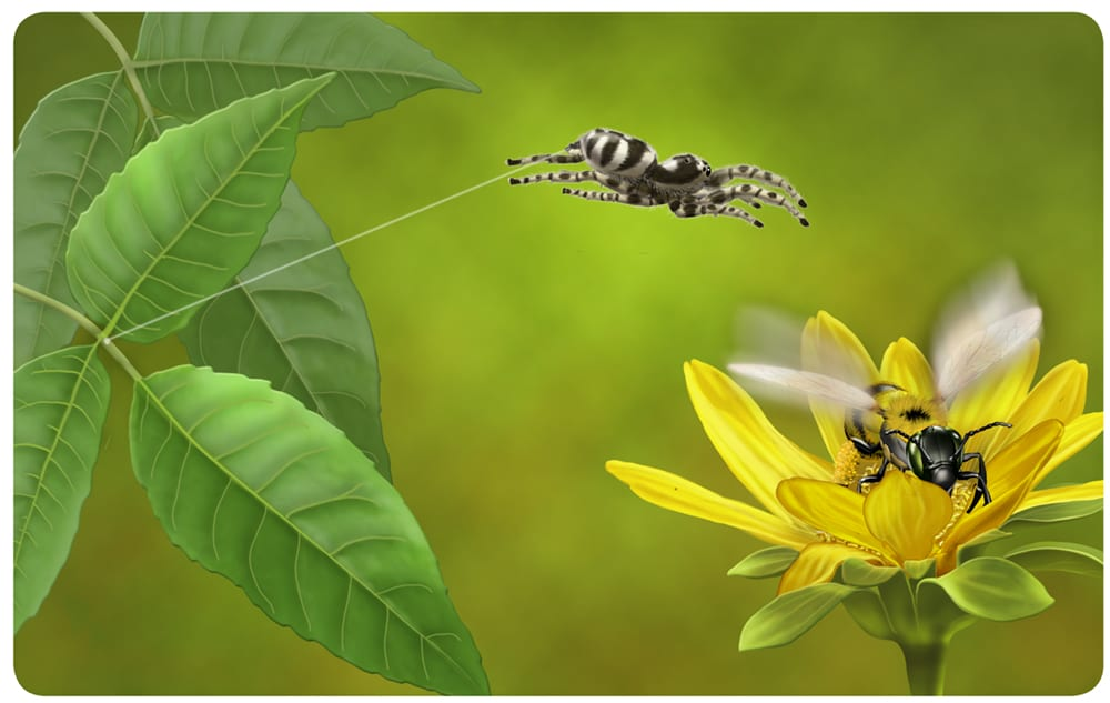 A jumping spider attacks a bee.