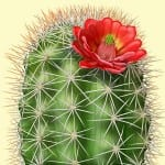 illustration of flowering hedgehog cactus