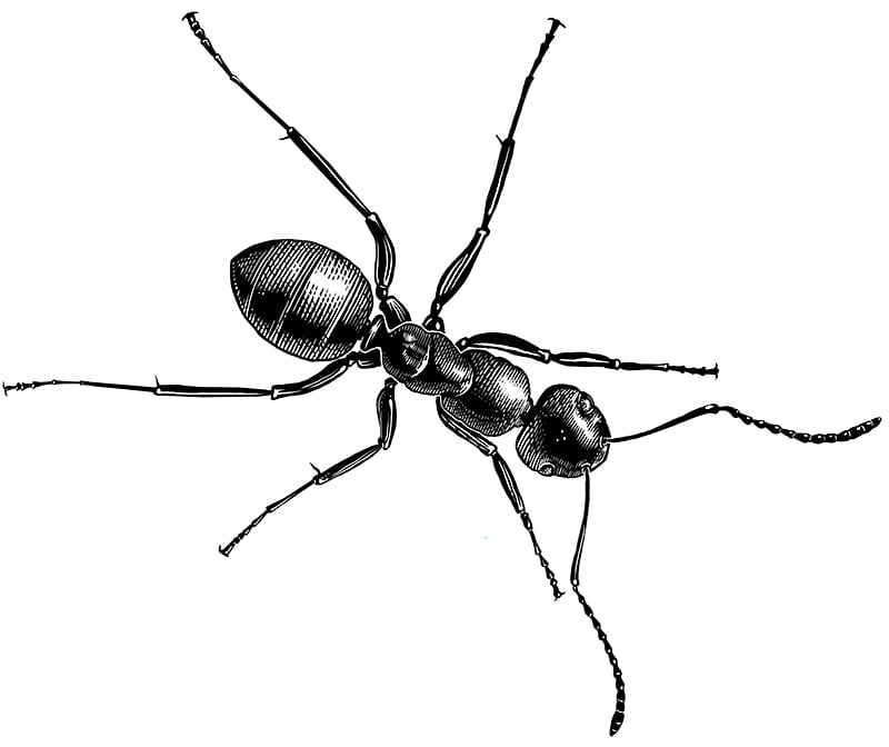 pen and ink illustration of ant