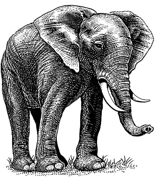 African Elephant illustration in pen and ink