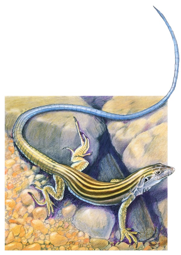 illustration of whiptail lizard
