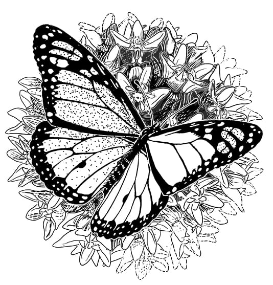 pen and ink illustration of monarch butterfly