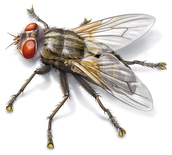 Housefly illustration for Bayer, Musca domesticus