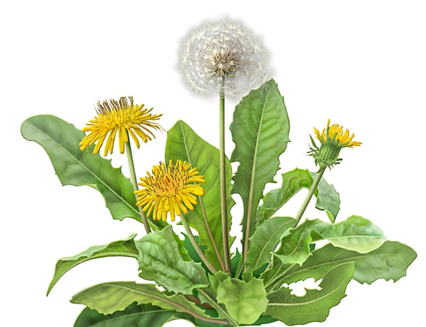 Dandelion, Taraxacum officinale, botanical illustration by Paul Mirocha for Alvita herbal tea packages.