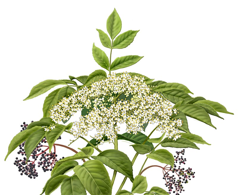 Elderberry, Sambucus nigra, illustration by Paul Mirocha for Alvita herbal tea packages.