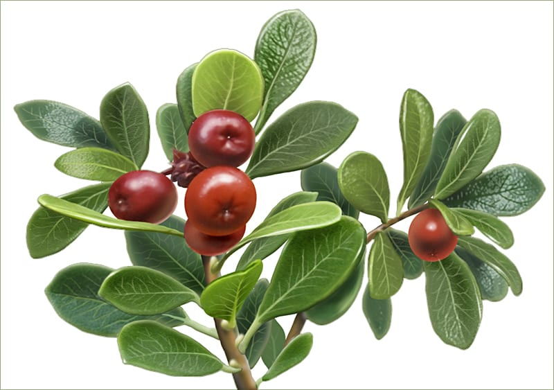 "Uva Ursi or ""bear berry"" illustration by Paul Mirocha for Alvita herbal tea packages"