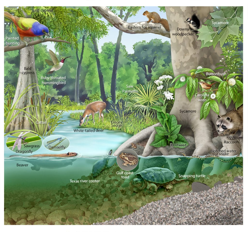 Riparian Habitat, illustration by Paul Mirocha for interpretive sign for the Meadow Center for Water and the Environment