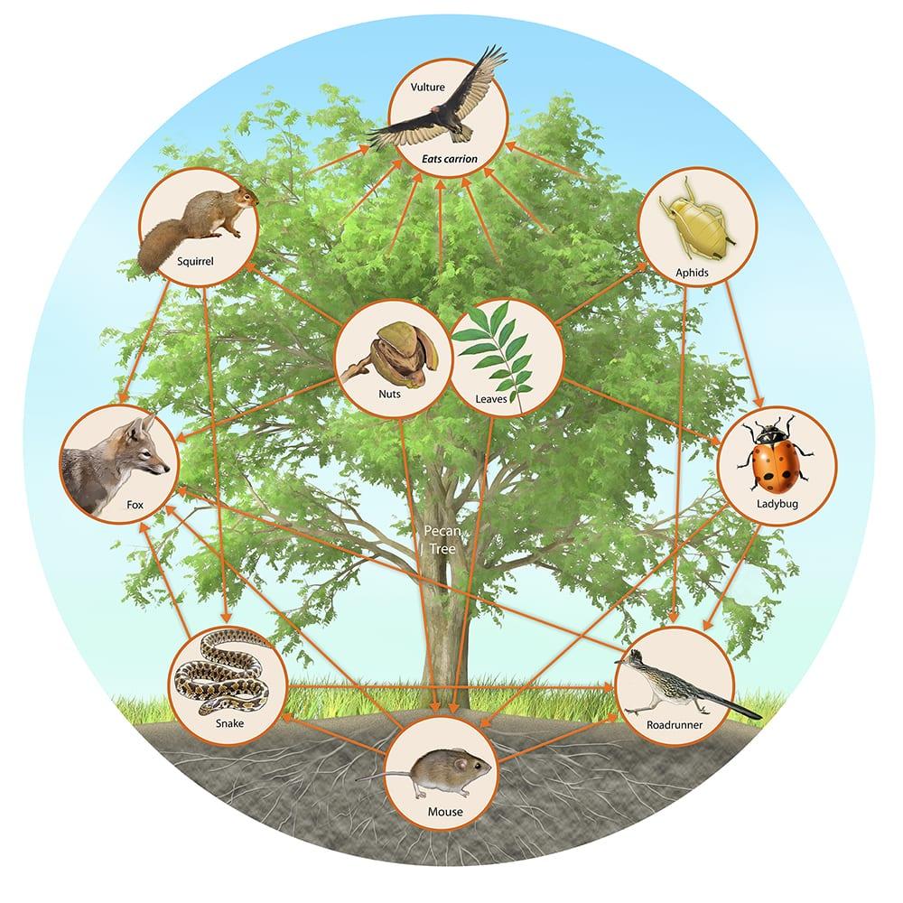 Pecan Tree Food Web