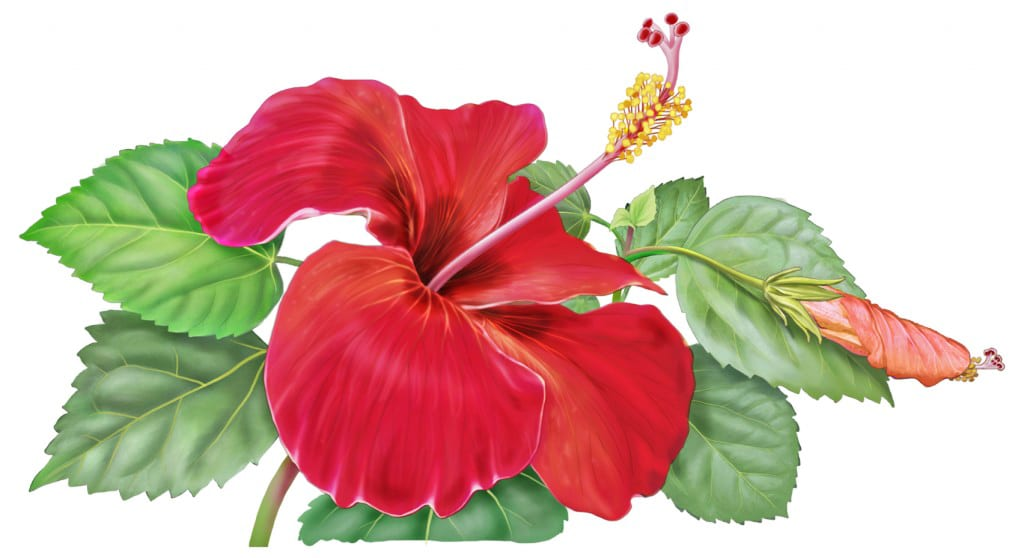 Hibiscus flower painting for Alvita Herbal Teas, by Paul Mirocha