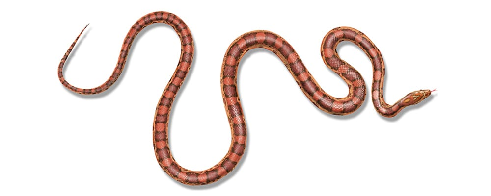 corn snake illustration