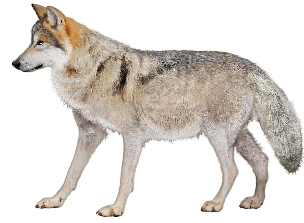 gray wolf illustration