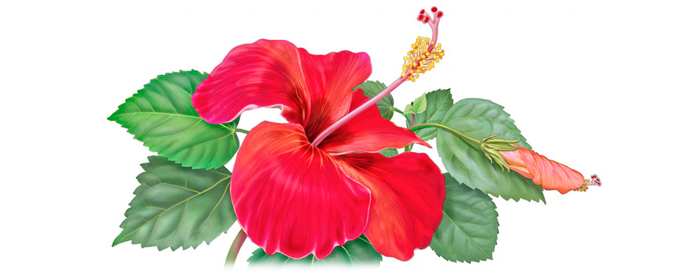 hibiscus flower illustration for Alvite herbal tea