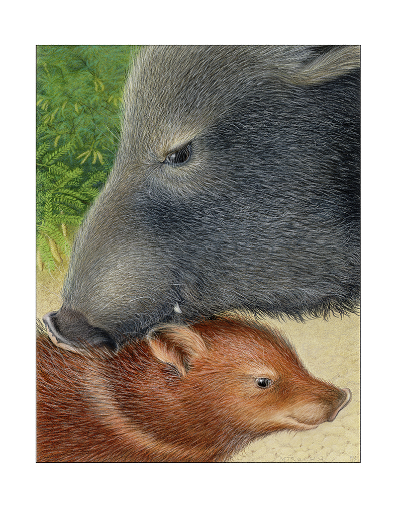 Old boar wencomes the piglet into the clan