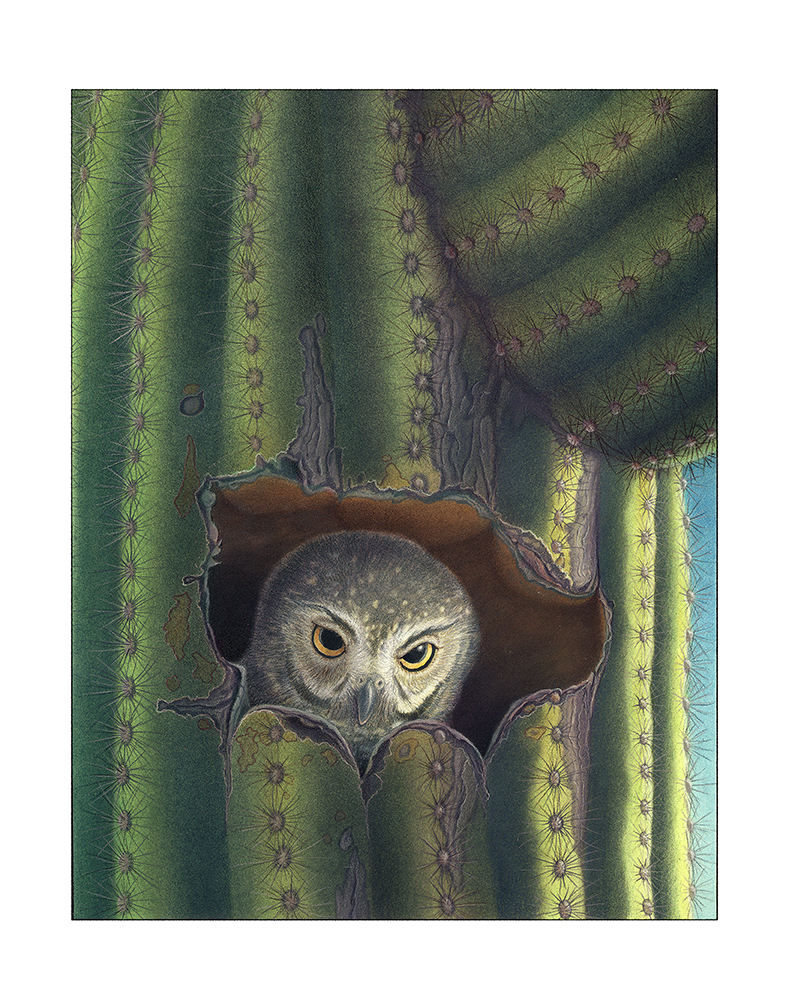 Elf owl in saguaro hole, illustration by Paul Mrocha