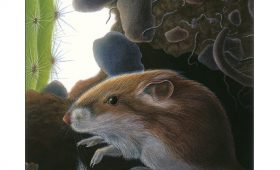 KAngaroo rat from Moon of teh WIld Pig, illustration by Paul Mirocha