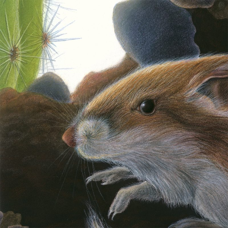 kangaroo rat-detail